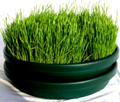 Soil Less Wheatgrass Grower